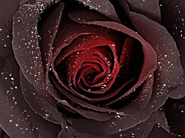 Gunslinger's Rose
